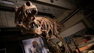 Nicknamed Scotty for a celebratory bottle of scotch consumed the night it was discovered, the T. rex was 13 meters (yards) long and probably weighed more than 8,800 kilos (19,400 pounds)