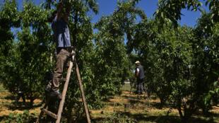 Des employés albanais cueillent des pêches dans un ferme de Panagiotis Gountis, près de Véria, le 8 mai 2020 en Grèce