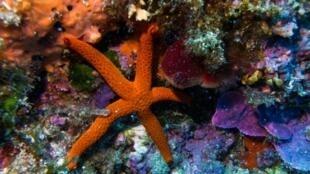 Une étoile de mer sur les fonds de l?île Calseraigne, près de Marseille, le 23 septembre 2018