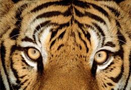 Tigres : les chiffres clés