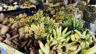 Le chlordécone, pesticide très toxique, a été utilisé pendant vingt ans dans les Antilles françaises
