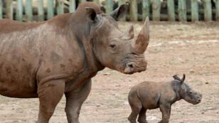 El traslado de un total de cinco rinocerontes desde Europa hacia Ruanda busca recuperar la población de estos ejemplares