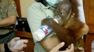 Officials believed Zhestkov drugged the ape with allergy pills