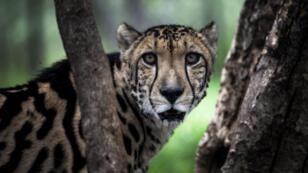 Les guépards font partie des animaux de voie de disparition.