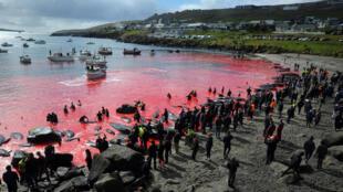 La tradición del grindadrap de caza de ballenas piloto en Islas Feroe, en su edición del 29 de mayo de 2019