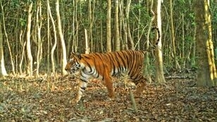 Bangladesh's sprawling Sundarbans mangrove forest is home to the threatened Bengal tiger