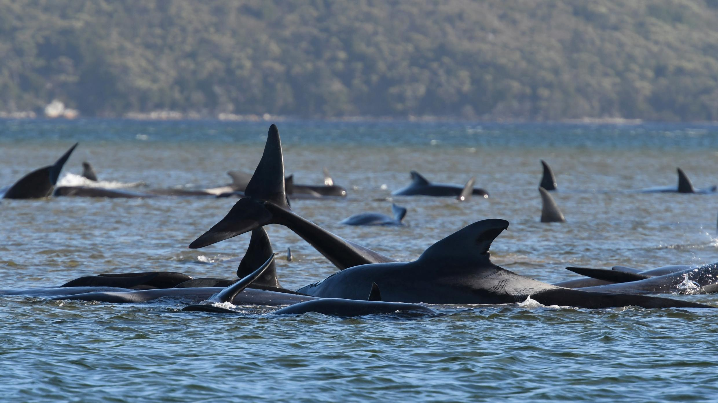 A pod of pilot whales, some 500 strong, trapped on the western shore of Tasmania.