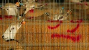 أضاحي عيد الأضحى في بروكسل في انتظار ذبحها