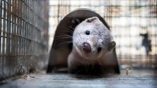 contamination de Néerlandais animal mink AFP