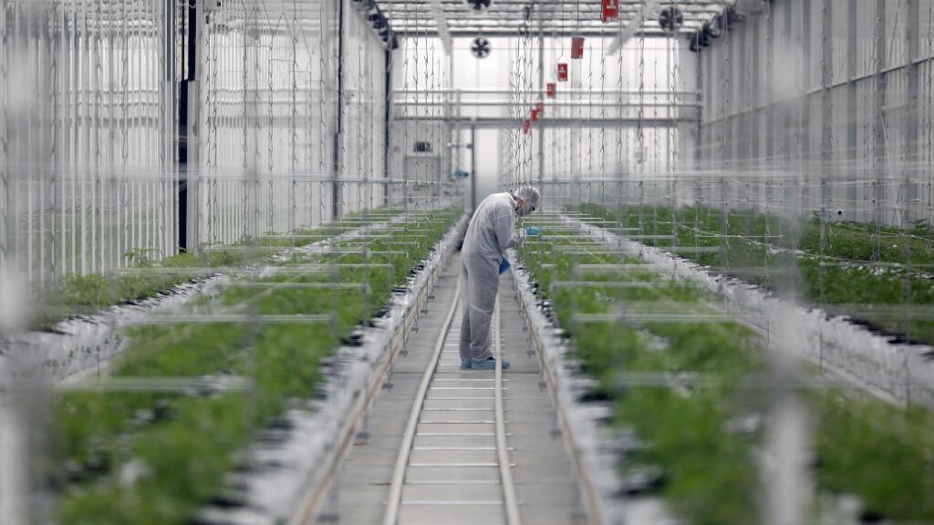 Un trabajador verifica las plantas de cannabis dentro del invernadero de la fábrica de Tilray en Cantanhede, Portugal, el 24 de abril de 2019.