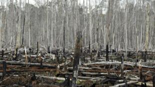 Une plantation de palmiers à huile détruite dans le village de Teluk Meranti, en Indonesie, le 11 novembre 2009.