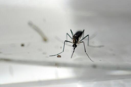 Aedes aegypti mosquitoes, known for spreading deadly illnesses like Zika, dengue and yellow fever