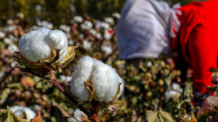 Xinjiang is a global hub for the crop, producing over 20 percent of the world's cotton