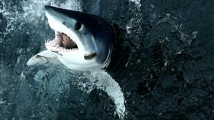 The shortfin mako shark, the world's fastest shark, is among those being caught in large numbers in the North Atlantic
