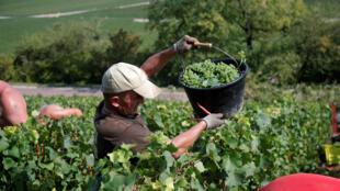 Los recolectores de uva recogen la fruta en el viñedo de Philippe Gonet durante la cosecha de vino tradicional de Champagne en Montgueux, Francia, el 23 de agosto de 2018.