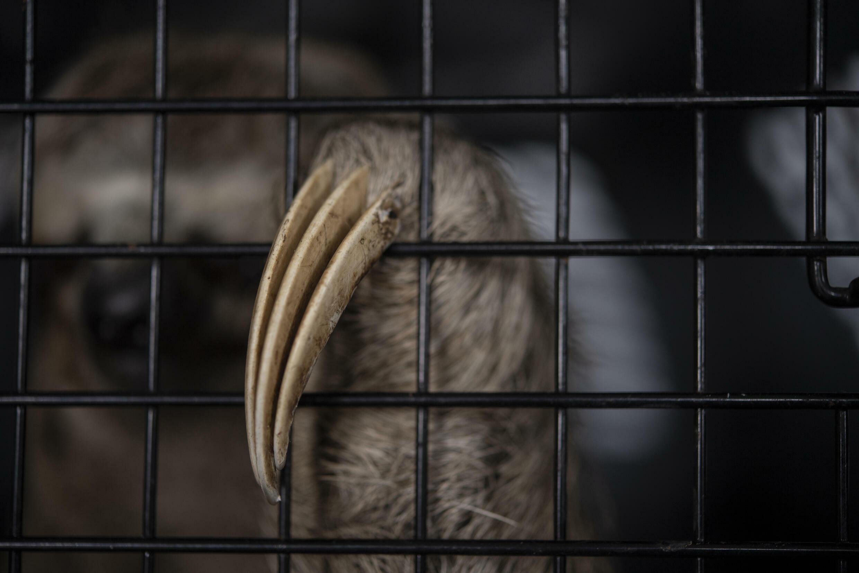 Chuwie Foundation helps save injured sloths