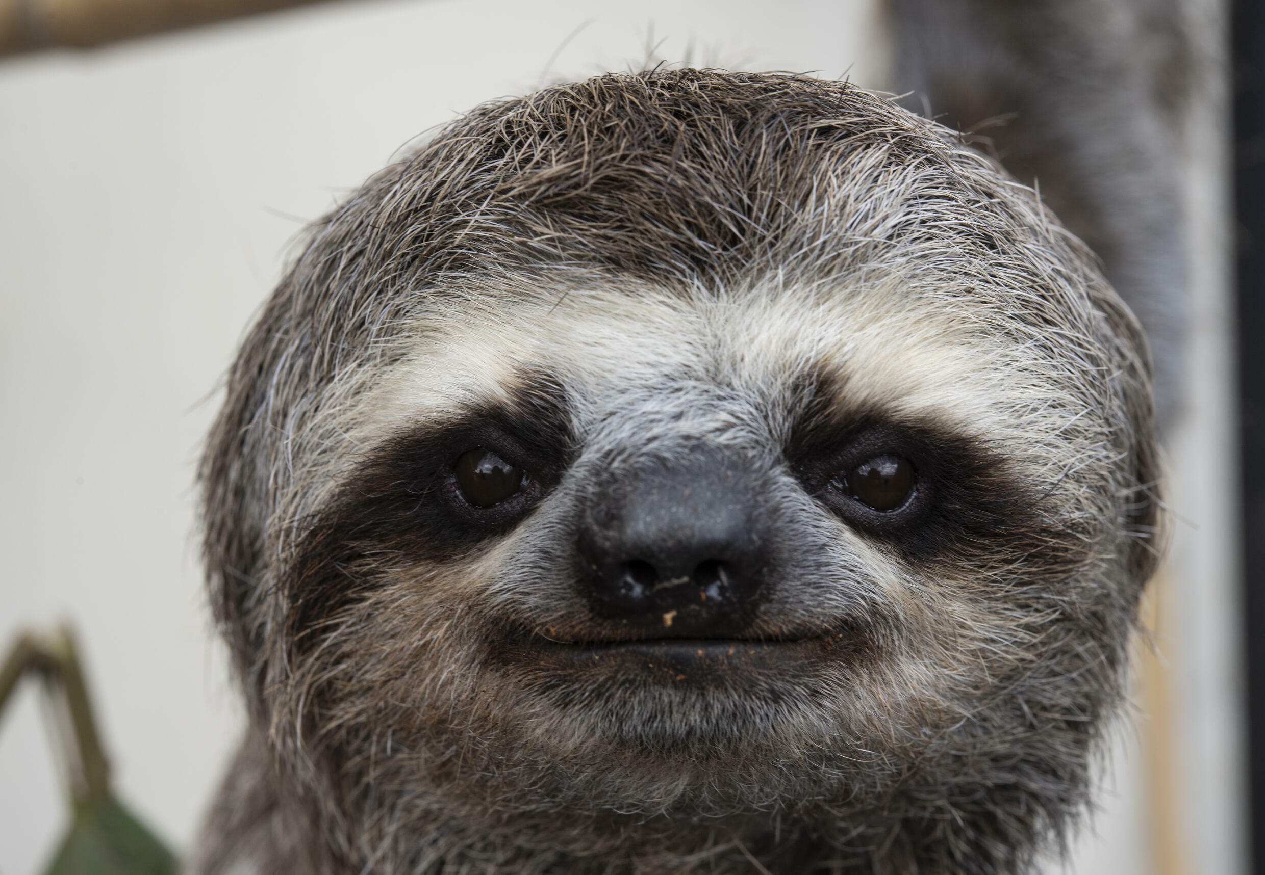 Chuwie was the first sloth Haydee and Juan Carlos Rodriguez saved