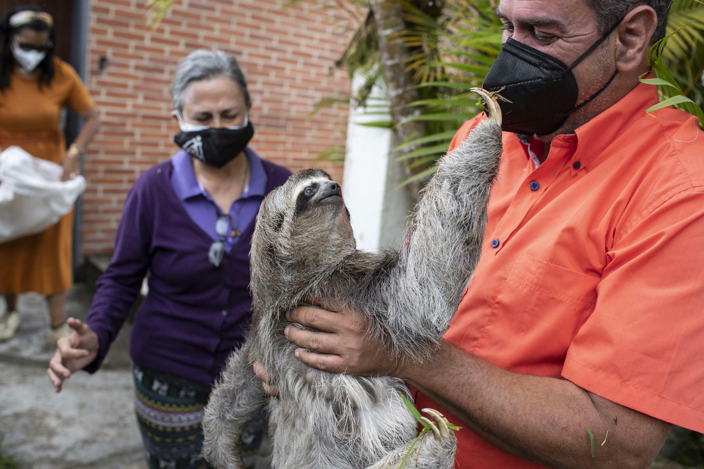 Juan Carlos Rodriguez checks that a sloth they rescued outside a house in San Antonio de los Altos, Venezuela is in good condition
