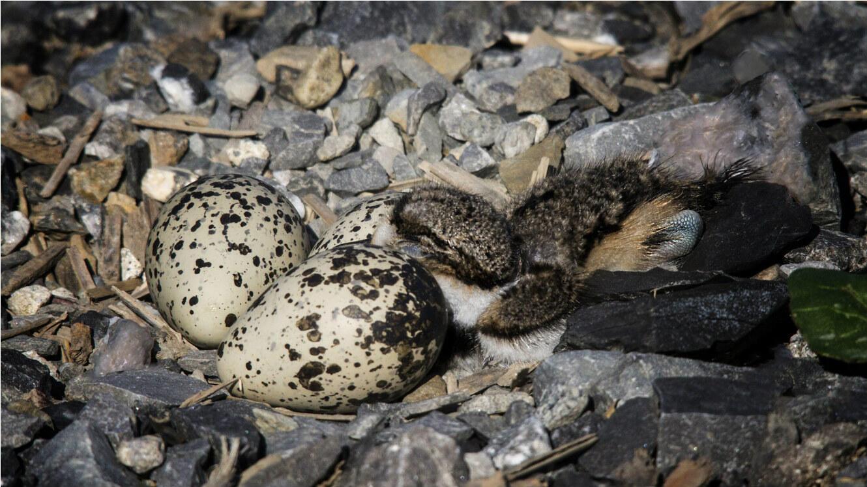 Un nid de Pluvier kildir (Photo d'illustration).