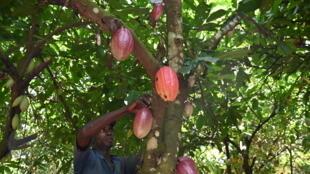 Récolte de cabosses de cacao dans une plantation près de Guiglo, dans l'ouest de la Côte d'Ivoire, le 10 octobre 2020