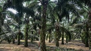 As the EU aims to curb palm oil use, Malaysia is threatening to retaliate