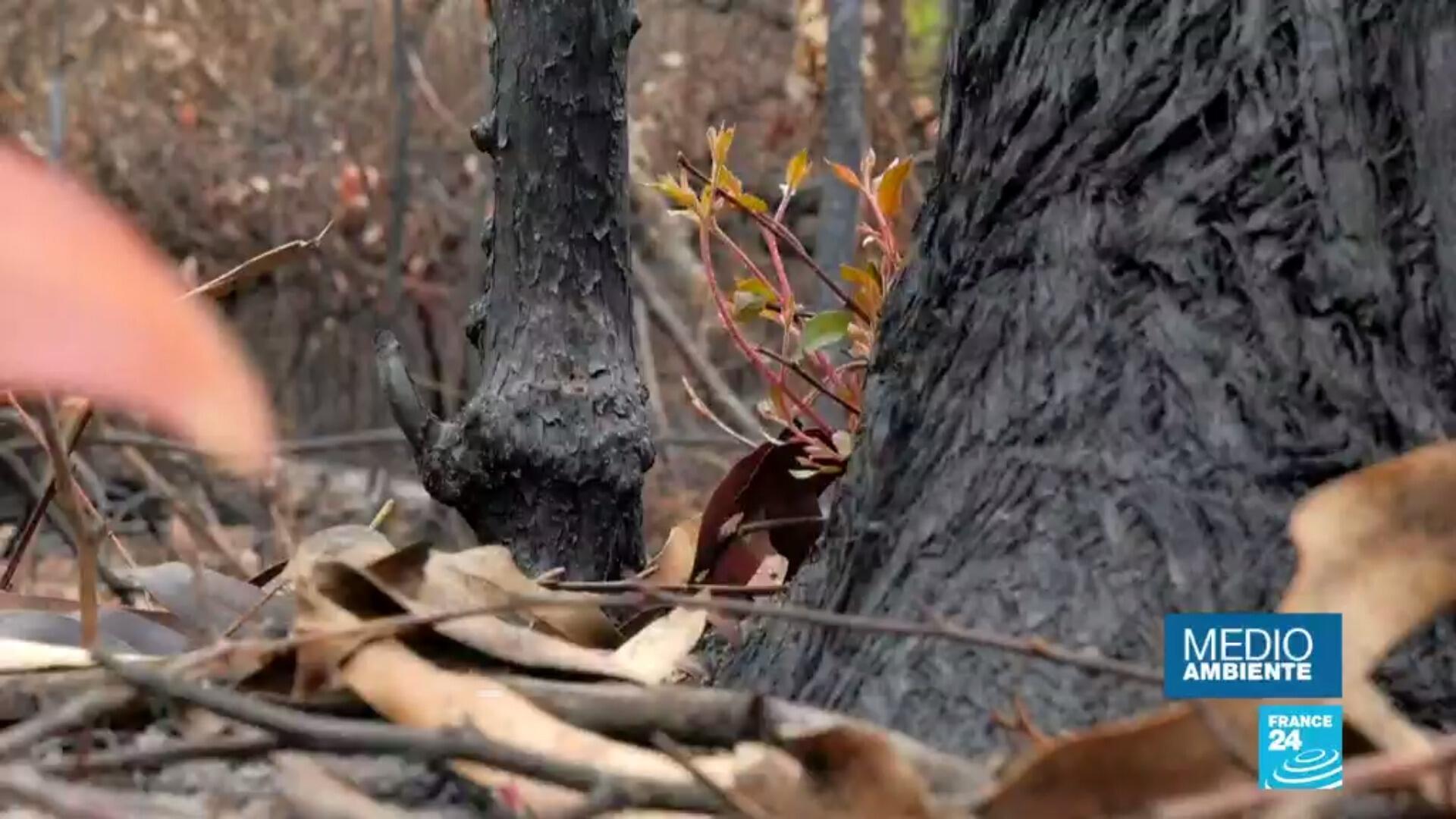 Signos de regeneración en algunos bosques de Nueva Gales del Sur, el estado más afectado por los incendios en Australia.
