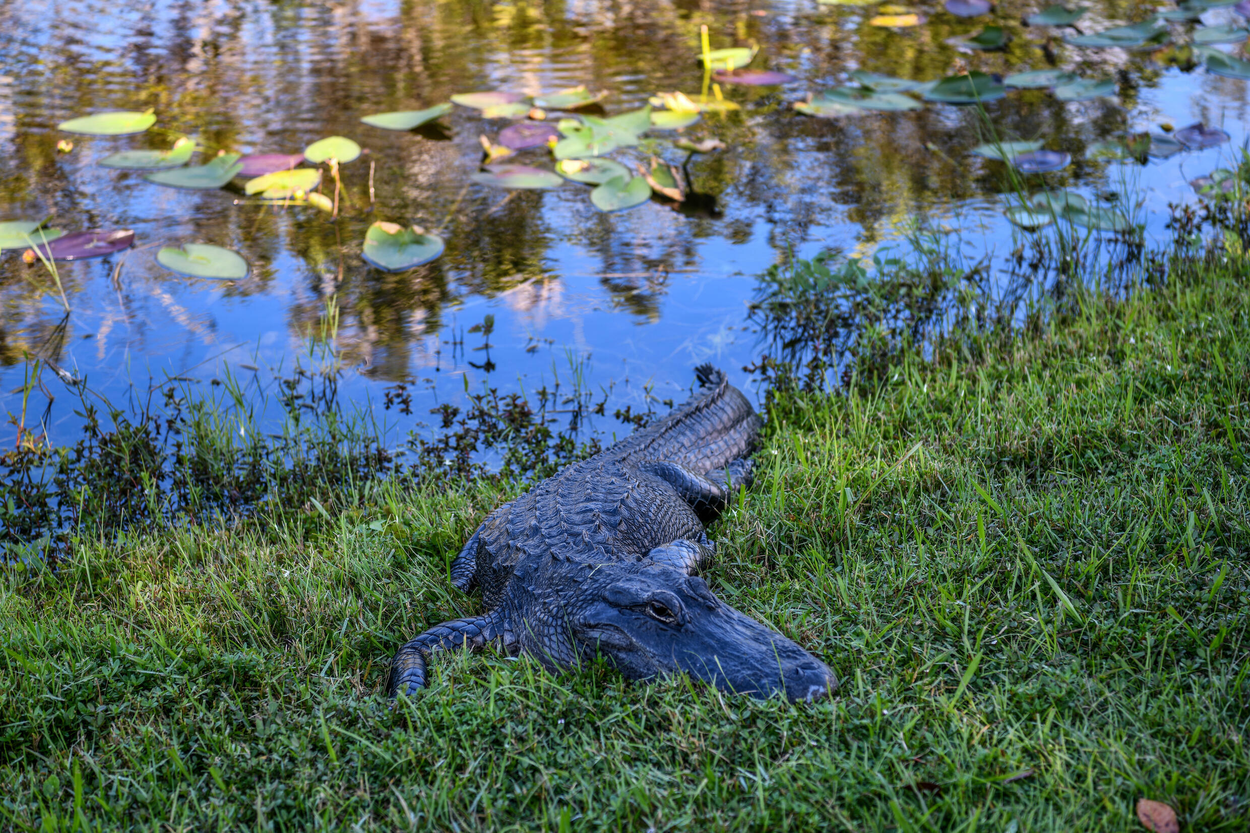 An alligator lays on the grass near a canal in Everglades National Park, Florida on September 30, 2021