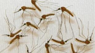 Des moustiques prêts à être disséqués. Photo Sanaria, Inc.