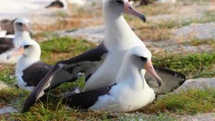 Unos albatros, fotografiados el 19 de noviembre de 2015 en Estados Unidos