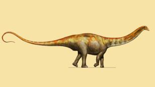 Reconstruction artistique du dinosaure Galeamopus pabsti.
