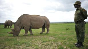 Un employé de la réserve d'Ol Pejeta, au Kenya, le 20 mars 2018, à côté de l'une des deux femelles rhinocéros blanc du Nord au monde encore en vie.