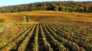 Vignobles à Mailly-Champagne, non loin de Reims.