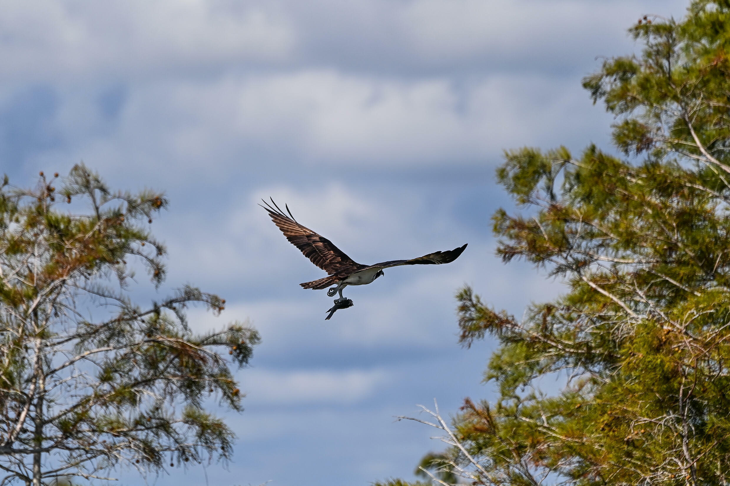 A bird flies holding its prey in Everglades National Park, Florida on September 30, 2021 as America's largest wetland faces a myriad of climate change threats