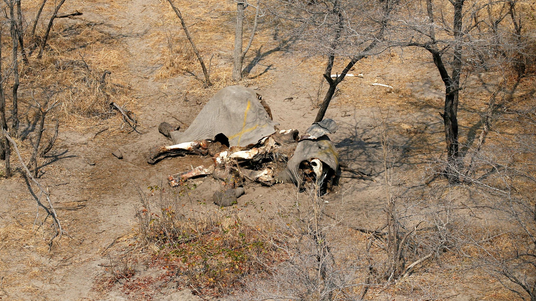 Foto de archivo de un cadáver de elefante tras el informe del sacrificio de 87 de ellos en Mababe, Botswana, el 19 de septiembre de 2018.