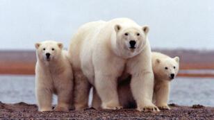 Un oso junto a sus pequeños en la costa de Beaufort Sea en el Arctic National Wildlife Refuge en Alaska. Actualmente se estima en 26.000 la población mundial de osos polares