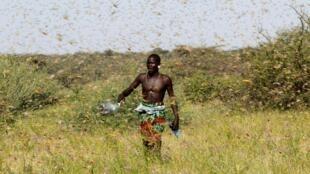 africa-locusts