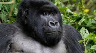 Selon des chercheurs, le virus du sida a été transmis à l'homme par les grands singes.
