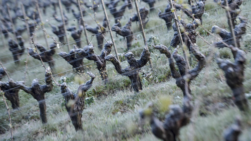 French winegrowers hit by rare frost brace for bleak harvest