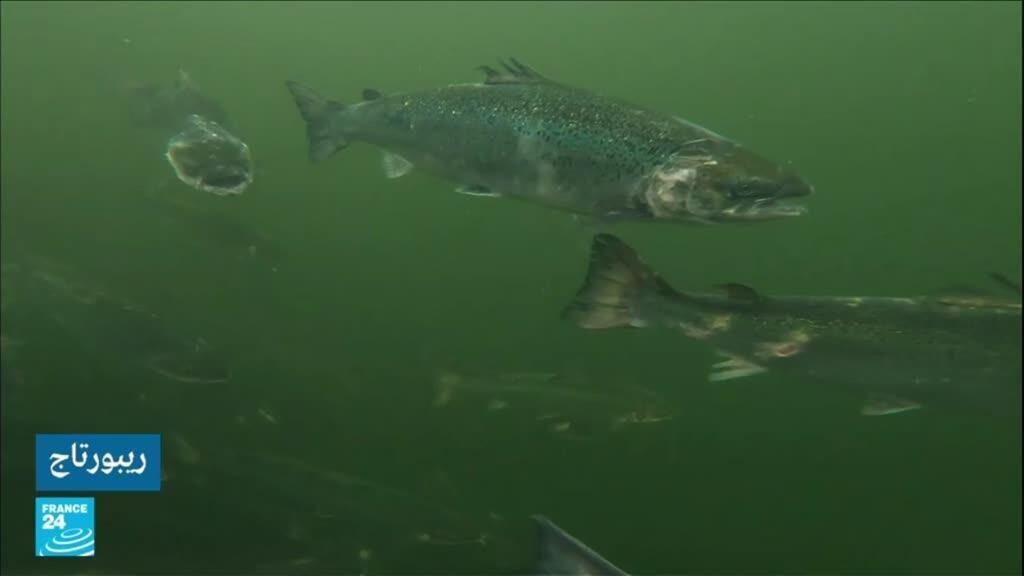 """برنامج """"ريبورتاج -سمك السلمون"""" 20-10-2021"""