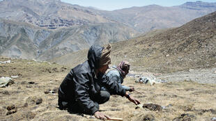Cosechadores recorren los prados nepaleses a 4.000 metros de altitud, en busca del homgo yarchagumba (viagra del Himalaya), el 9 de junio de 2012, en Dolpa