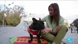 2020-10-16 12:14 In Russia, Bulldog named Nord Boss shows off his impressive skateboarding skills