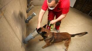 Un pompier entraîne son chien à détecter une éventuelle odeur du coronavirus, le 30 avril 2020 à Ajaccio, en Corse