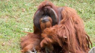 Chantek était très apprécié du personnel du zoo d'Atlanta.
