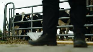 La surmortalité par suicide chez les producteurs laitiers est 50% supérieure à la moyenne de la population.