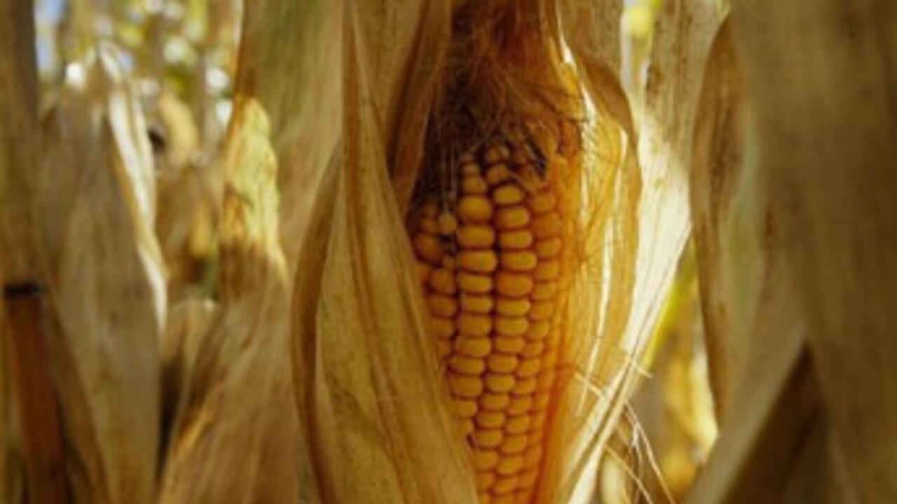 Monsanto drops request to grow GM crops in EU