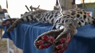 Amanaci, un jaguar herido por los incendios del Pantanal, recibe atención en la ONG Nex Institute, en Corumba de Goias, en el estado brasileño de Goias, el 11 de octubre de 2020