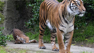 Sumatran tigers are considered critically endangered by the International Union for Conservation of Nature, with fewer than 400 believed to remain in the wild