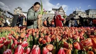 Tulips from Amsterdam are shipped all over the world