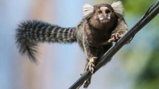 A wild marmoset (Callithrix jacchus) walks on electric wires in Rio de Janeiro, Brazil