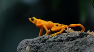 Esta foto de archivo tomada el 16 de abril de 2009 muestra una rana dorada (Atelopus zetequi) en el zoológico El Níspero del Valle de Antón, 124 km al este de la ciudad de Panamá